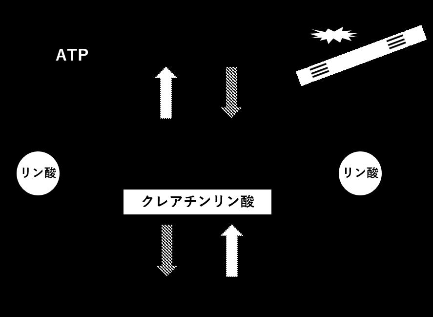 図2. ATP-CP系におけるATP再合成