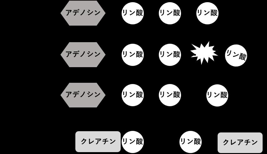 図2. ATP再合成におけるクレアチンの働き