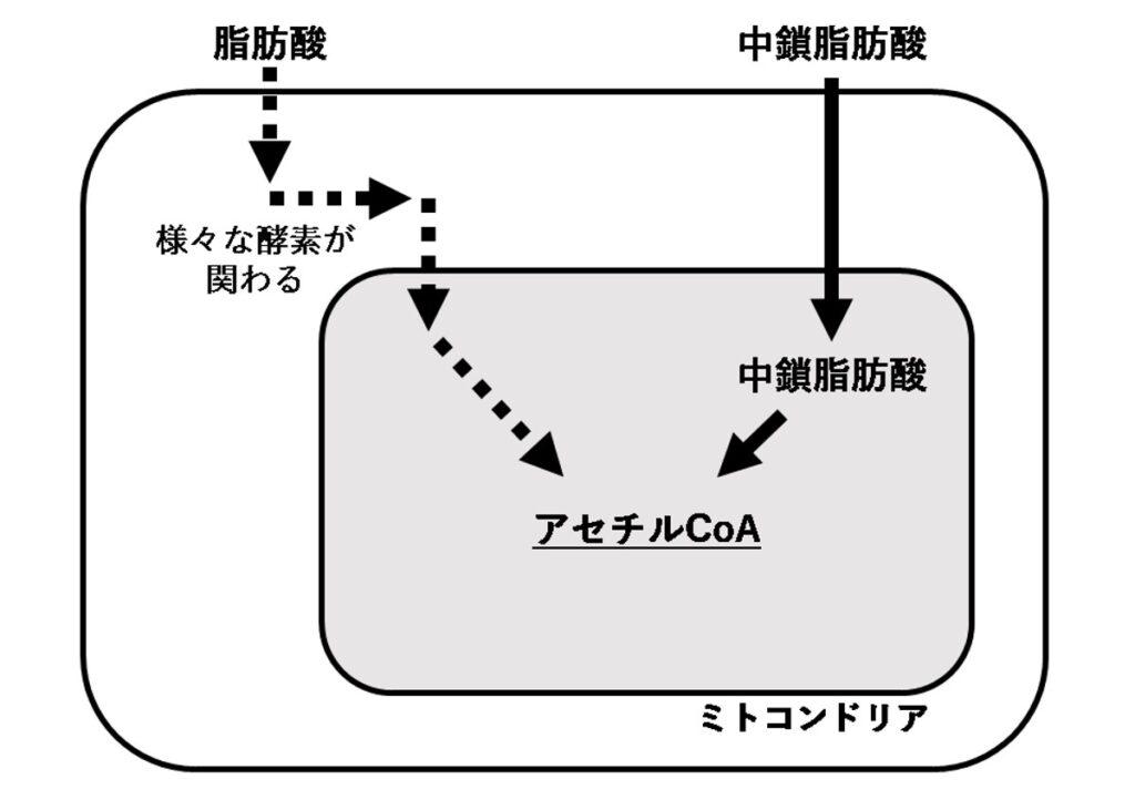 脂肪酸の代謝・ケトジェニック