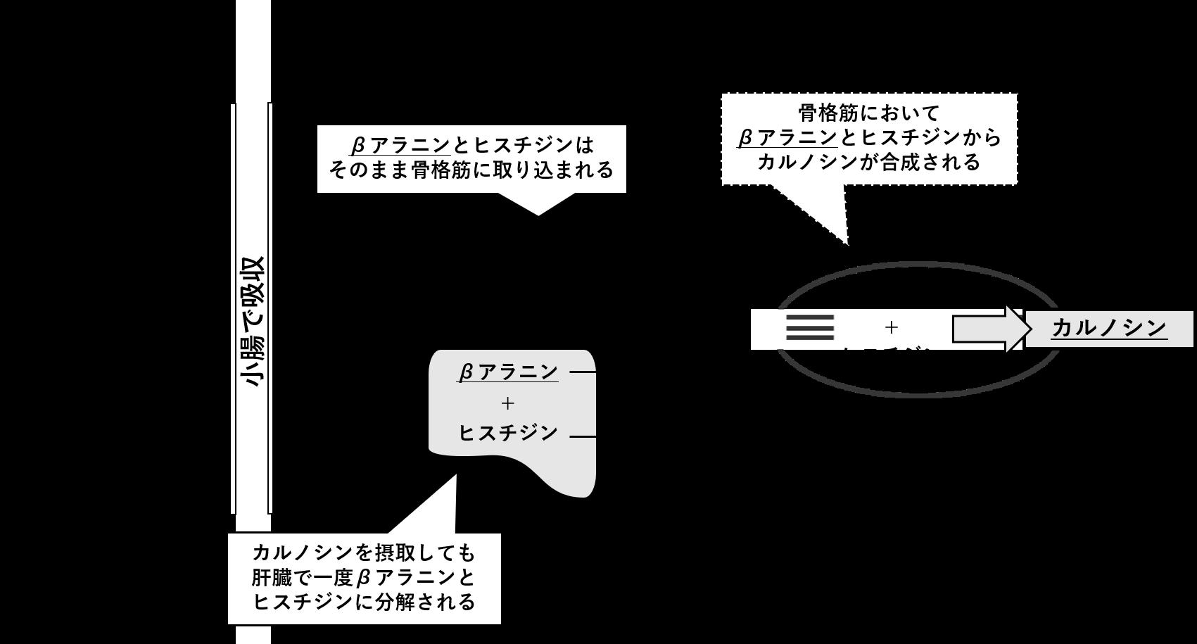 図2. 骨格筋におけるカルノシン合成の過程