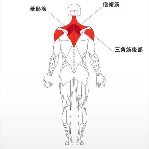 フォーカスする筋:僧帽筋、菱形筋、三角筋後部